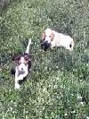 Vand pui beagle