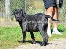Canisa vinde pui cane corso cu pedigree