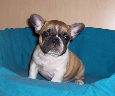Bulldog Francez De Vanzare Pui Bulldog Francez Anunturi Animale